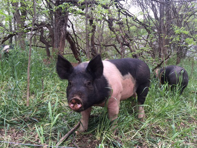 pigs in woods may 2019